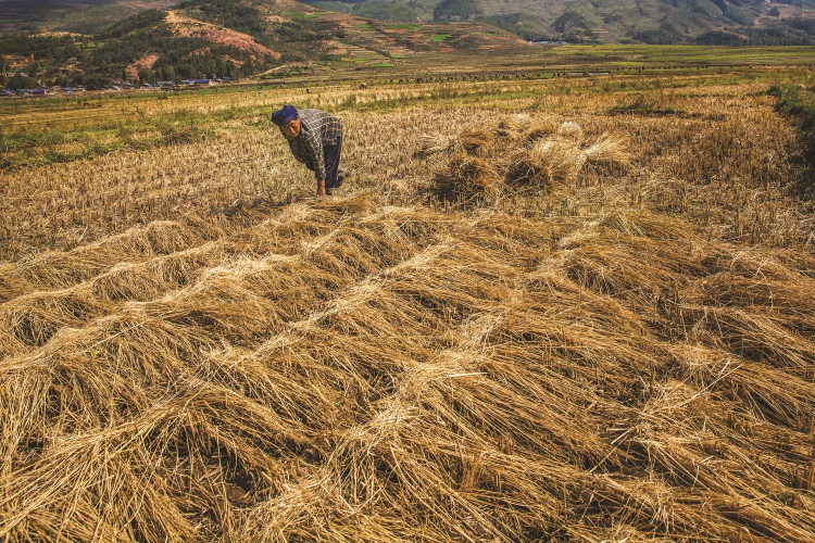 干草收割后被整齐地铺在田上,方便搬运到其他地方。