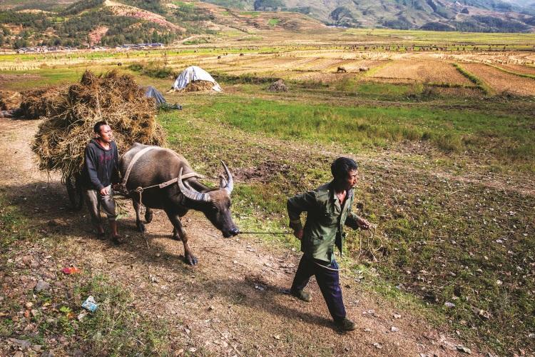 水牛也被当地用来搬运农务。