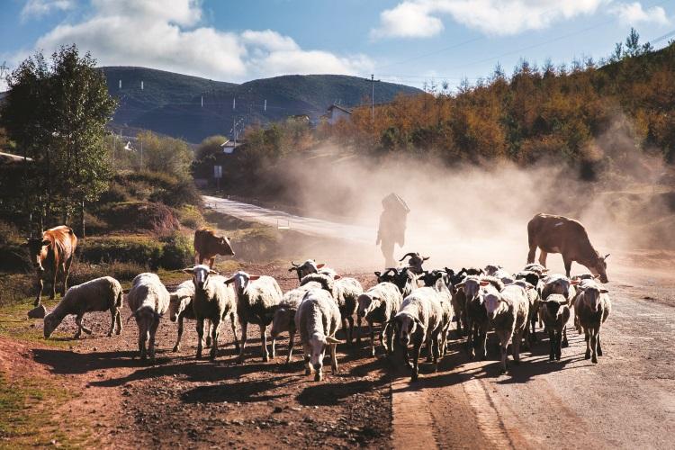 一大群绵羊奔向你,那是多么澎湃的画面。