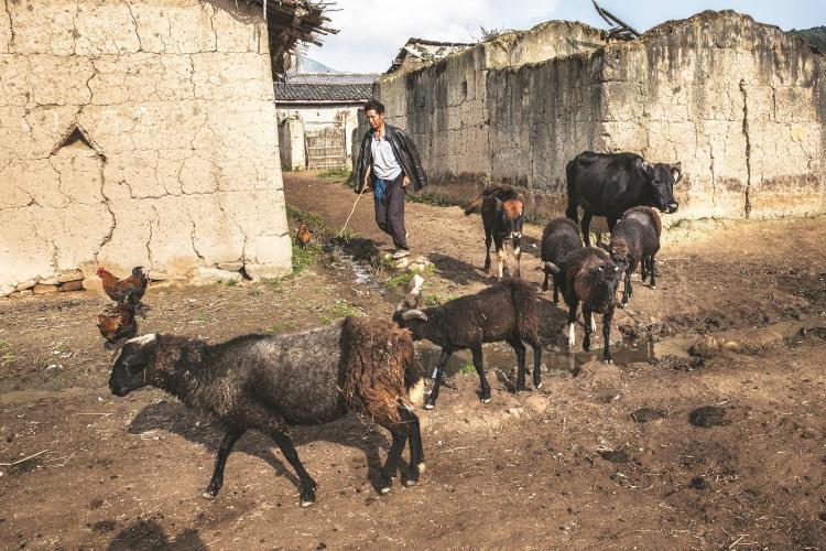 黑绵羊也是布拖县的其中一个特产。
