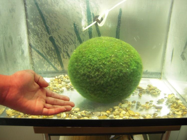 成长速度缓慢的绿球藻,能长至图般大小需要不少时间,因此相当珍贵。