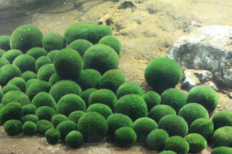 阿寒湖的绿球藻是受保护的,不允许任何人在湖底捞起带回。