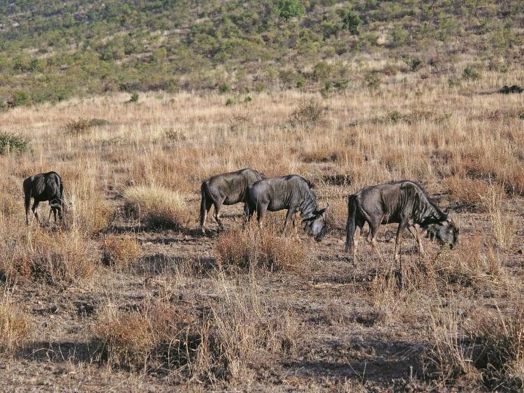 蓝角马(Blue Wildebeest)