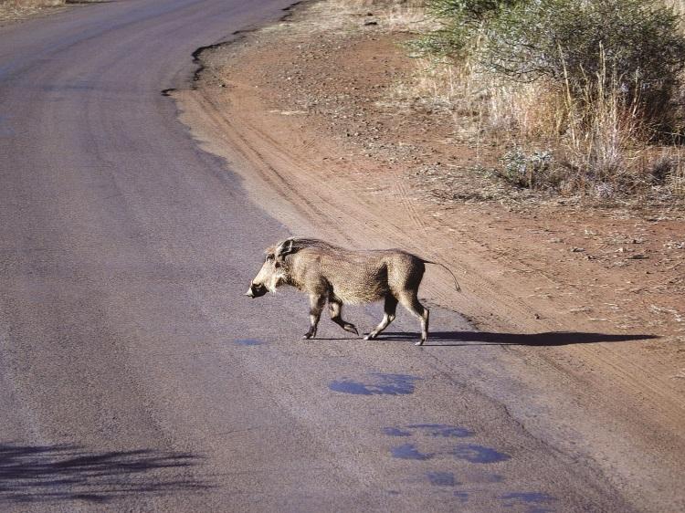 一看到疣猪,大家就想起了迪斯尼卡通电影《狮子王》里的Pumbaa。