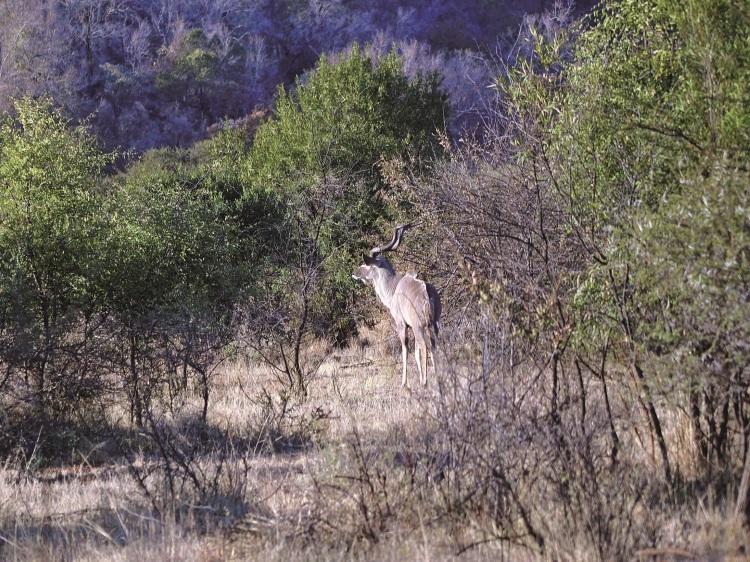 大捻角羚(kudu)。