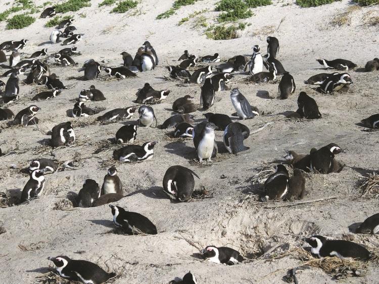 成群毛茸茸的企鹅在沙滩上享受着温暖的阳光。