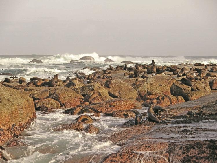 孤零零的一个小岛上却躺着成千上万的海豹。