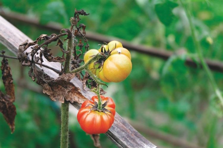 一排排的蔬菜,绿油油的生长。