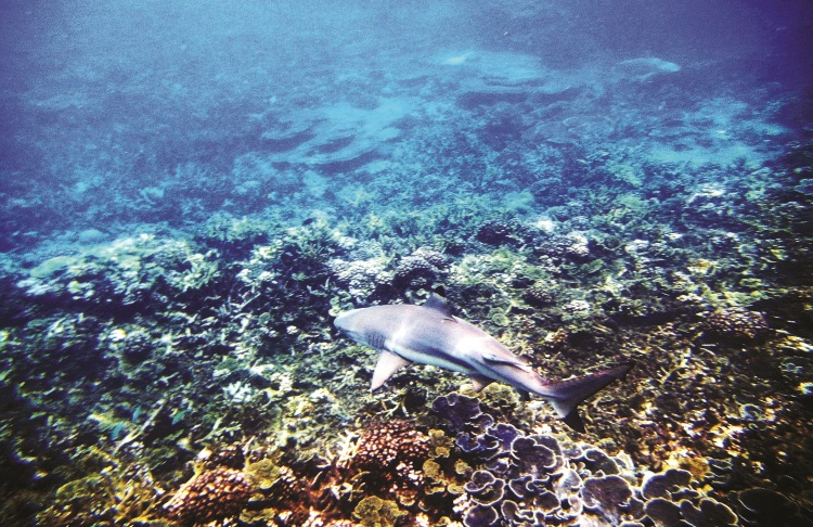 七彩斑斓珊瑚海,鲨鱼静静的游走在上。