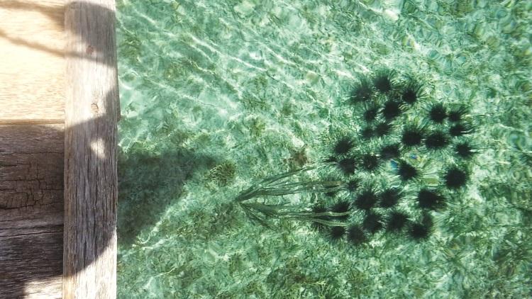 站在桥上清晰可见海底的海胆和海星(二)。