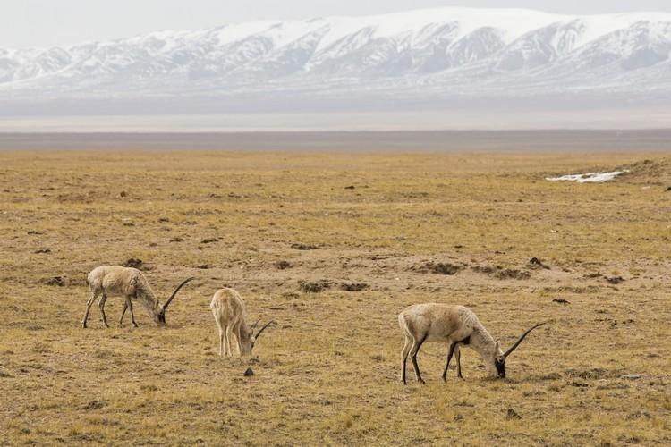 藏羚羊,是西藏的代表性物种。1980年代前栖息于可可西里的藏羚羊不断遭受大规模猎捕而面临濒危,数量从原来20几万急遽减少不到2万头。从1981年开始,中国政府开始严禁出口藏羚羊的制品。