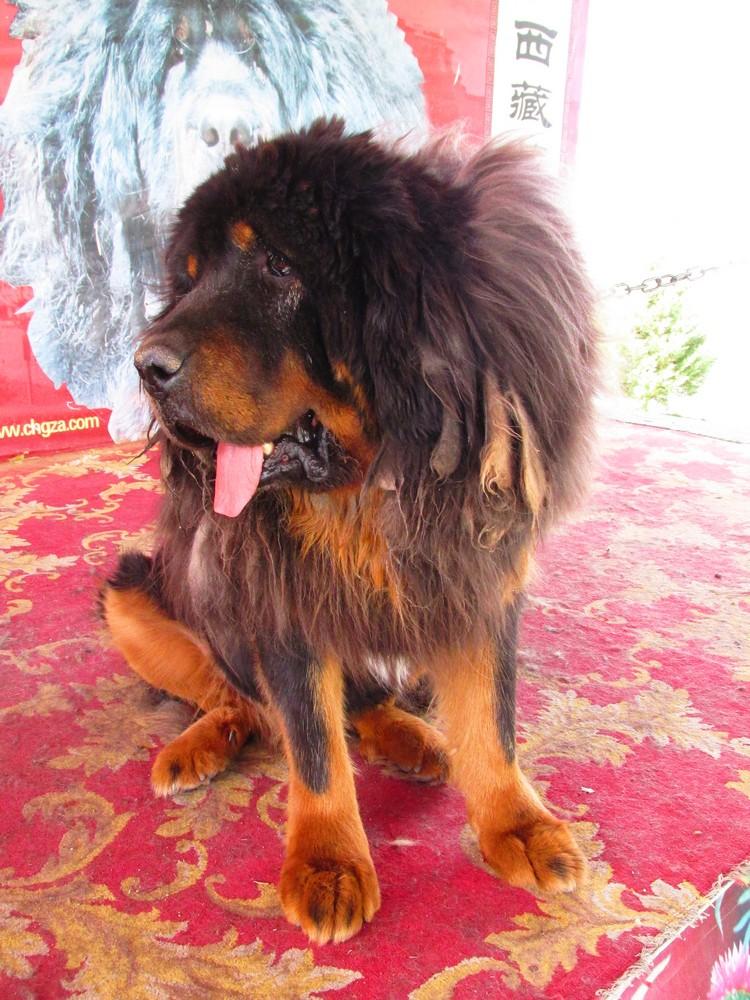 """来到西藏,更不能错过一睹号称""""东方神犬""""的藏獒。"""