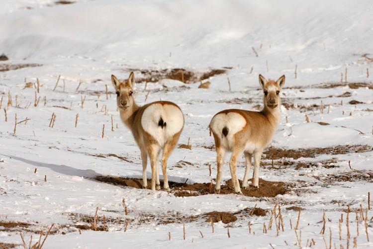 藏原羚是西藏特有种,也是国家二级保护动物。