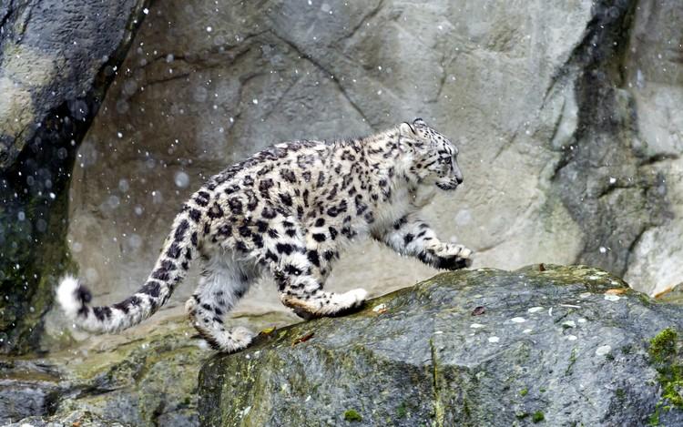 """由于非法捕猎等多种人为因素,雪豹的数量急剧减少,成为濒危物种。""""只见雪豹皮,不见雪豹""""是1990年代,美国博物学家乔治·夏勒博士的痛心呐喊。["""