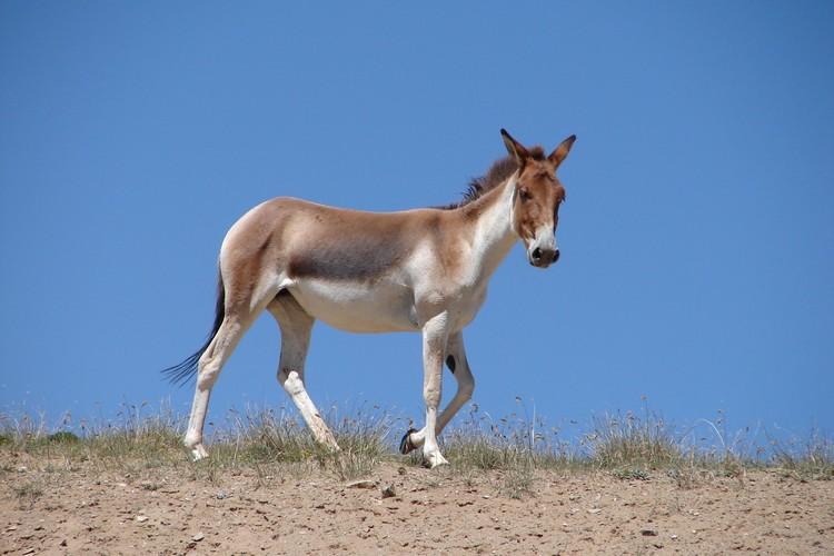藏野驴也是西藏特有种,是种非常适应高原环境和气候的物种。