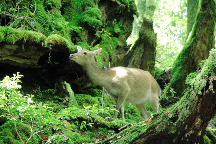"""屋久岛是个多山之岛,岛的形状属于圆菱形。由于这里有树龄超过1000年的巨大屋久杉和苔藓,还有丰富的水流,因此也被称为""""远古的森林和水的岛屿""""。它与白神山地一起被列入世界遗产名册,是日本最早列入世界遗产的自然景观,但并非整个岛都属于世界遗产范围,而是中央的宫之浦岳和西边的神木林区(1000年以上)被列入世界遗产范围。"""