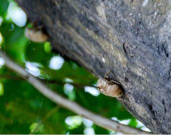 除了独角仙,蝉儿也在汲取光蜡树树皮下的树液。