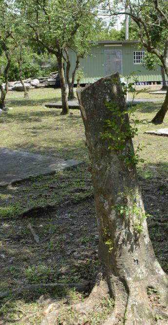 梅花湖休闲农场内被锯掉而剩下一半的光蜡树。