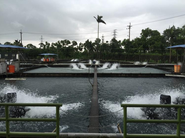 每个池塘中,畜养着数以万计的香鱼。