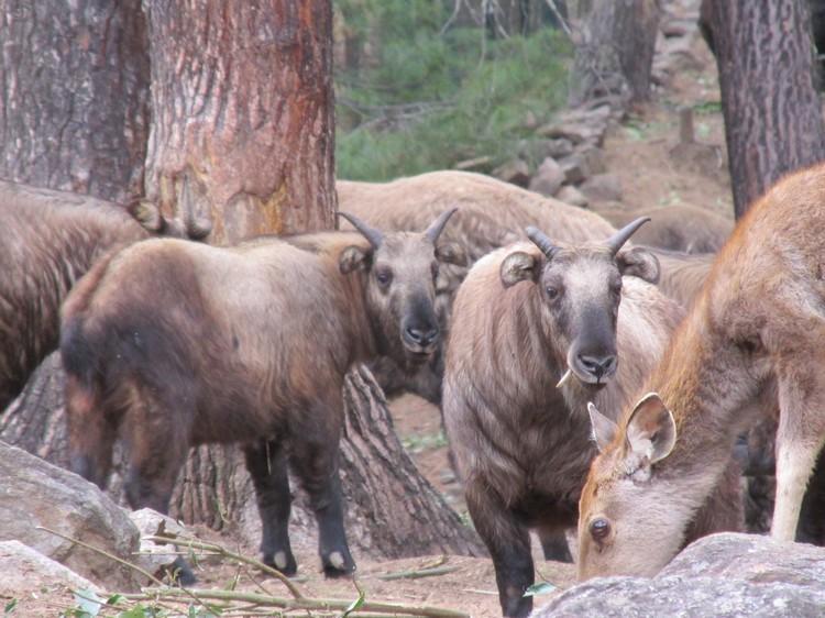 它就是不丹国兽塔金(羚牛)!