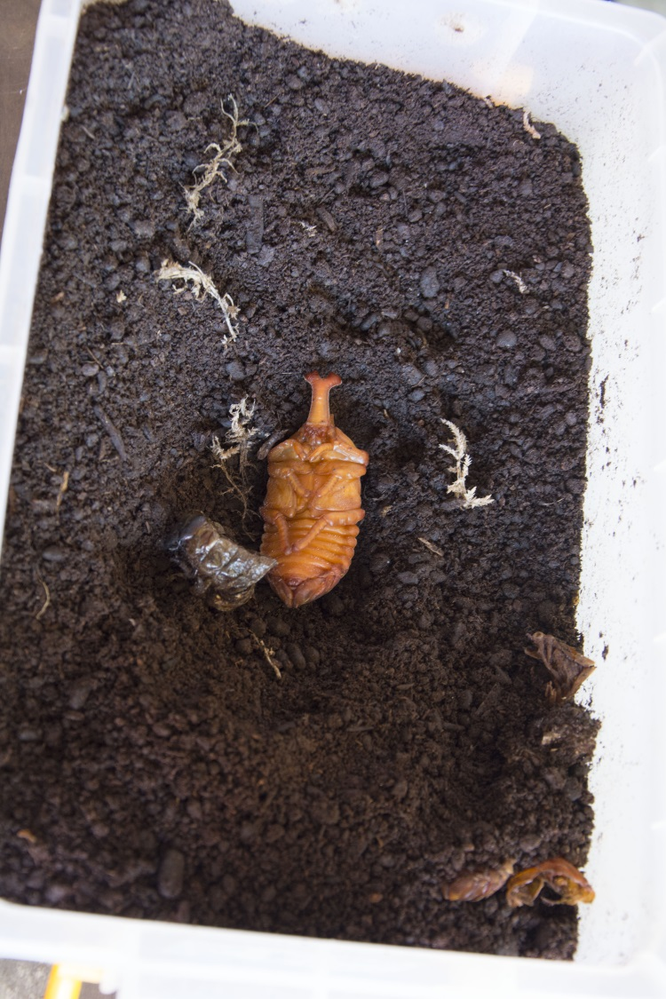 独角仙雄蛹,旁边是其它独角仙褪下的蛹皮,将成为腐殖土的一部分。