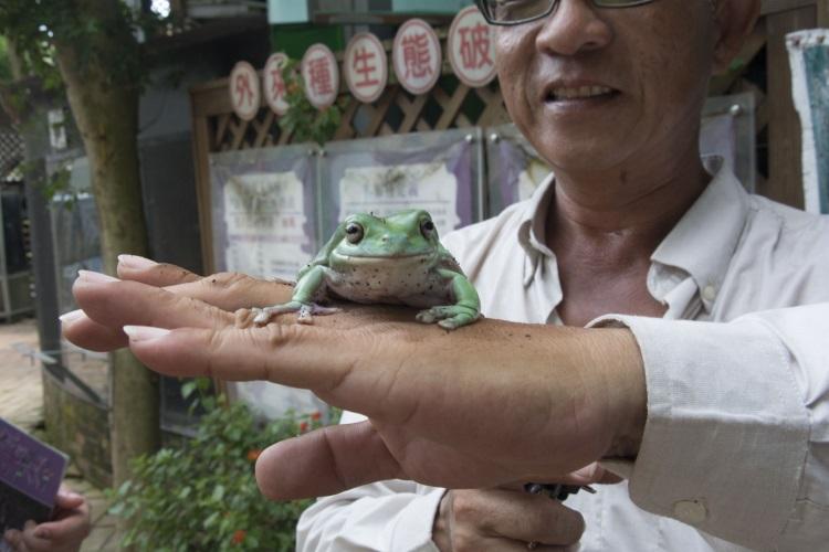 老爷树蛙,体型肥胖可爱。