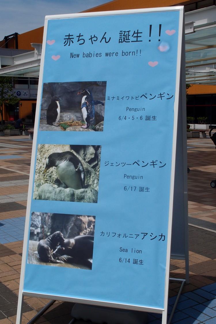 海游馆不久前刚迎接了新生命!海狮宝宝及企鹅宝宝!