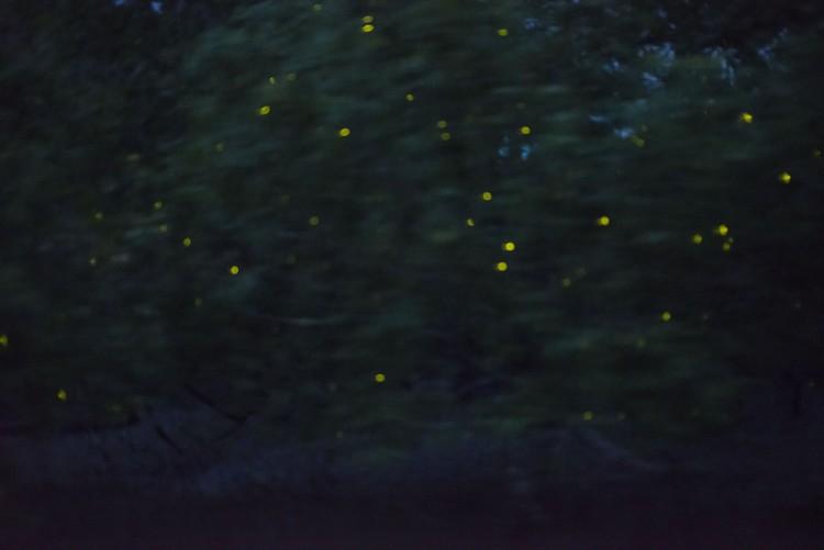 萤火虫栖息海桑树,把树点缀得如圣诞树般闪闪发亮。