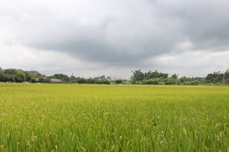 黄色小鸭喷泉毗邻的稻田,一片金黄,让人赏心悦目。