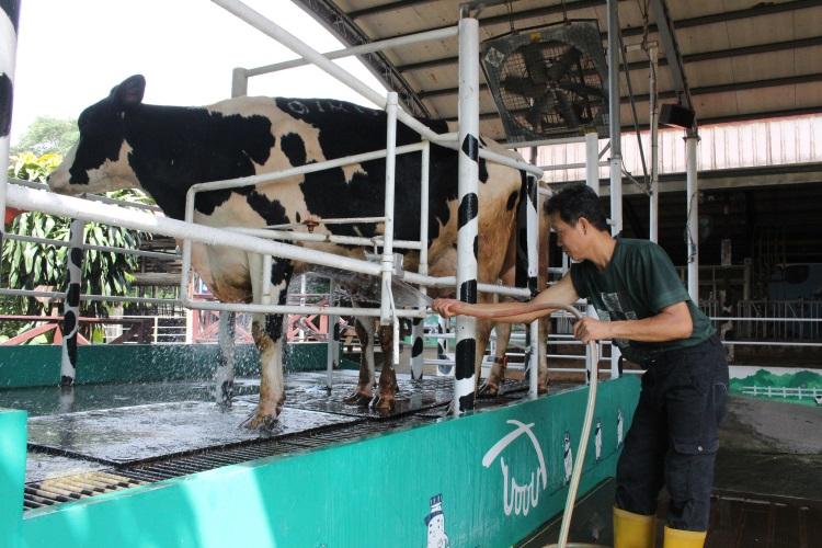 乳牛挤奶前进行清洗,保持卫生,高品质的鲜奶才得以保证。