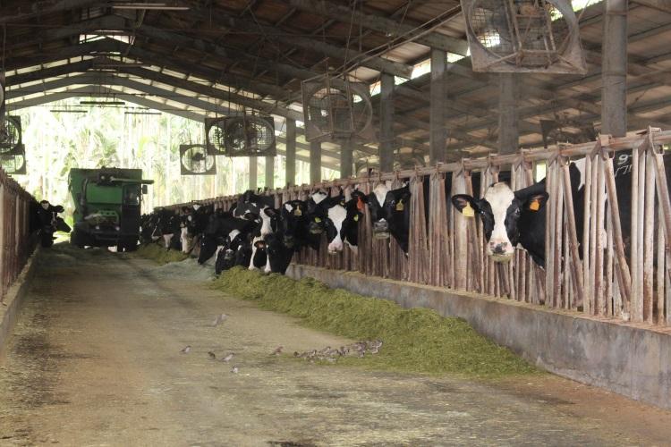乳牛透过牛栏露头吃草,一个不漏获得适当照料。