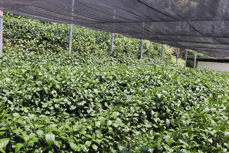 卓也小屋的自家蓝草占全台湾的蓝草90%。
