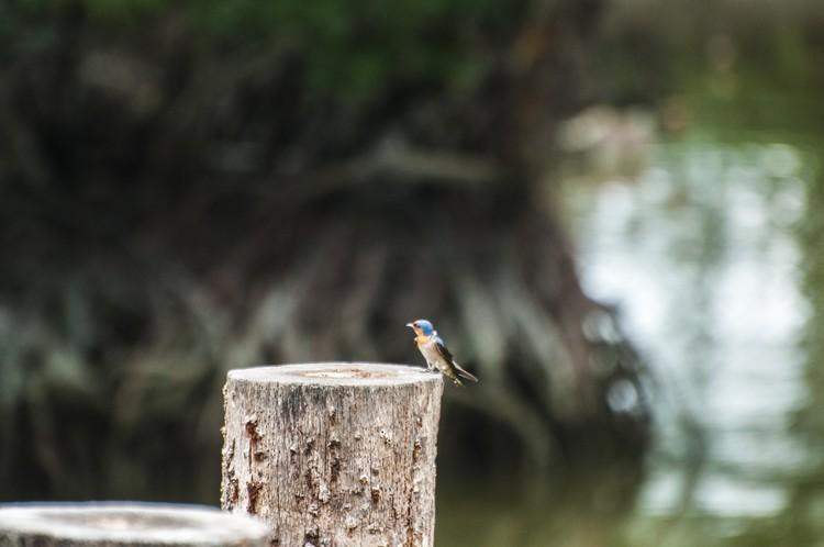 在红树林,常见各式鸟类驻足。