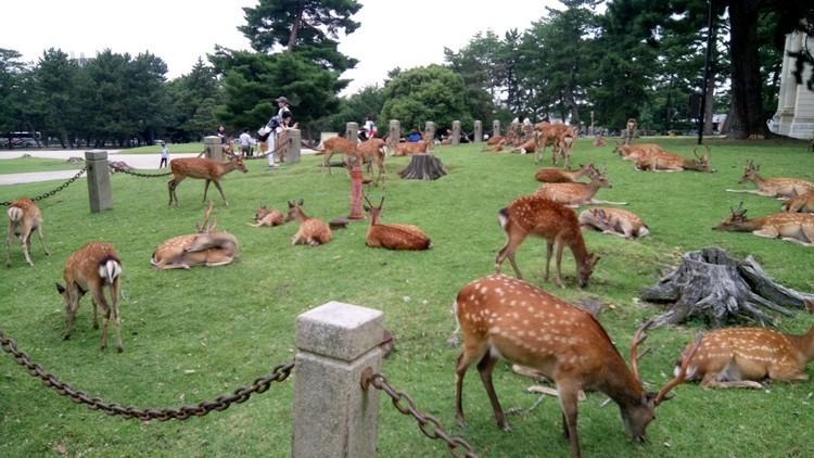 奈良市区约有近千头鹿,除了公园范围,走到哪里都有鹿。