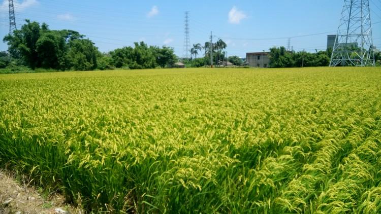 林家古厝门前满是金黄色稻田,每逢7-9月,这里就会是一幅荷塘画境。