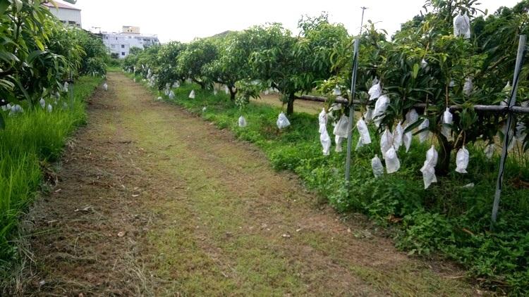 果实全都用白色纸袋包裹住,以防害虫入侵。