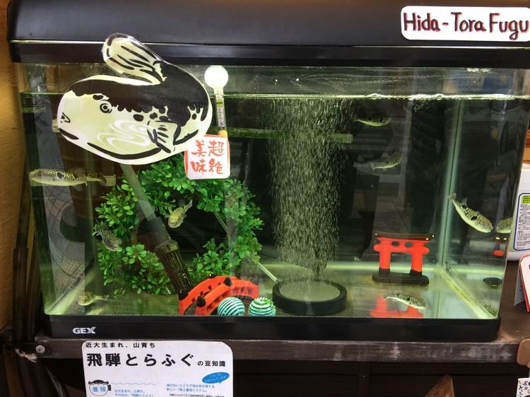 在我品尝飞騨牛肉寿司的摊位,展示着一缸活河豚。少女们大多不忍心吃。