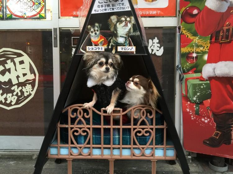 店家把两只超可爱的吉娃娃养在门口,还有名字呢!