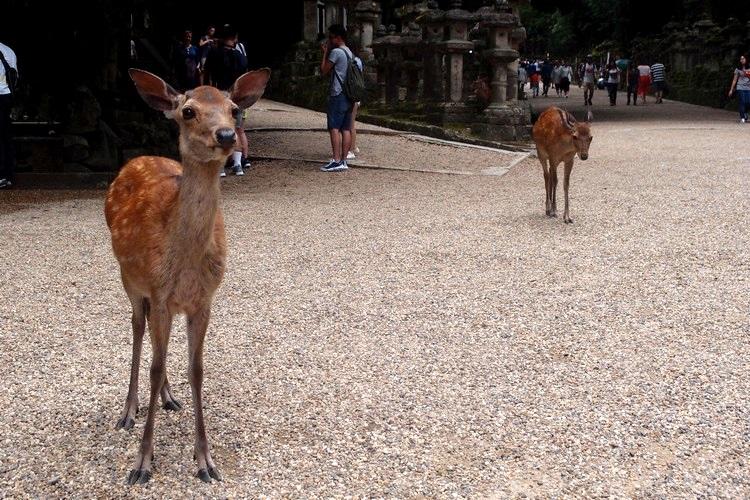 """这些自由奔放的神兽貌似可爱,本想向前亲近,但鹿的""""主动""""让我倒退几步,原来是盯着我那圆圆的镜头误以为是""""鹿仙贝""""!"""
