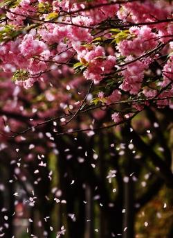日本人认为,樱花最美的时候不是盛开之时,而是其凋零的时候。