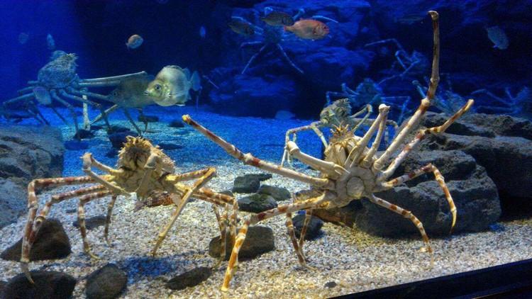 如果喜欢海底世界,大阪的海游馆將是极佳的景点选择。图中的巨蟹因长时间维持同样的姿势,而引起大家的注意。