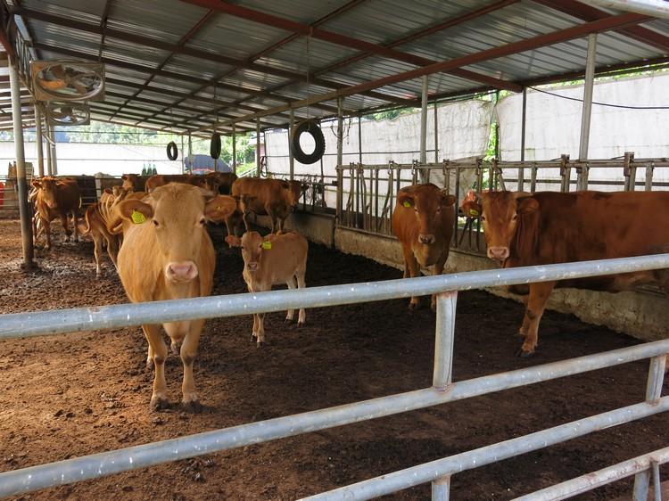 旁边恰好有个牛栏。相比其他肉类,韩国牛肉价格一般较高。不要盯着我我没有要吃你。