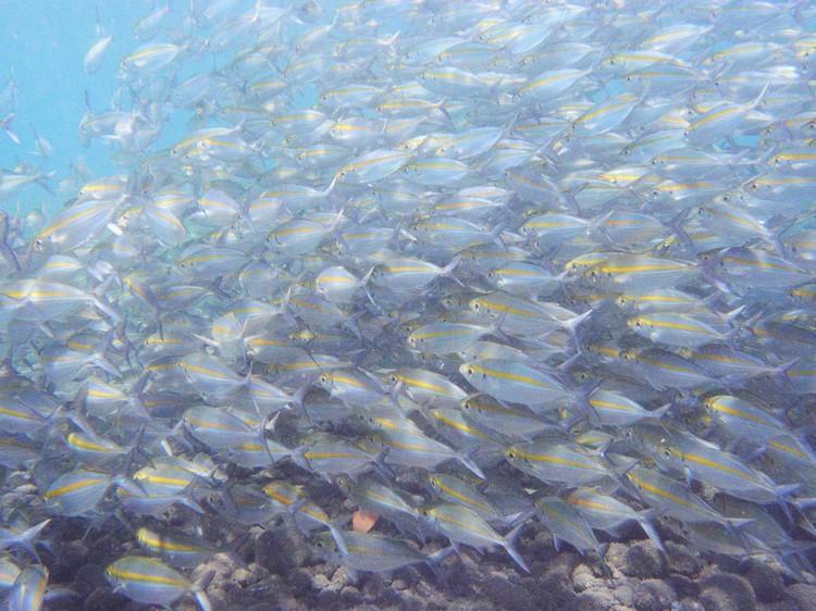 看着一大群鱼在身旁穿梭,是潜水最大的喜悦之一。