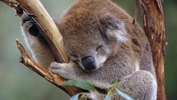 koala 350