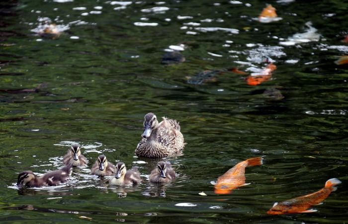 水里的鸭子与鲤鱼乐悠悠。
