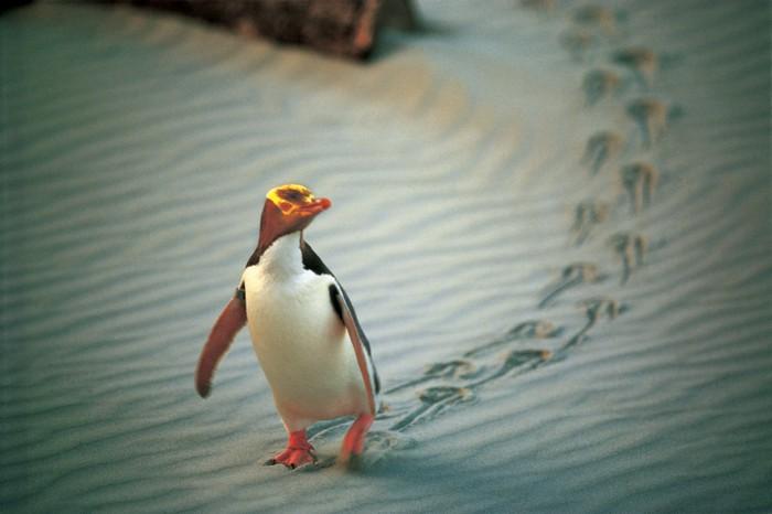 在清晨或是夜晚时分,你或许会遇到企鹅爸爸出海抓鱼还是回家。记得别抓住它!不然,一家大小就没得吃晚餐了。