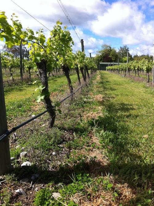 我们把在纽西兰的三个月都贡献给这里——葡萄园。