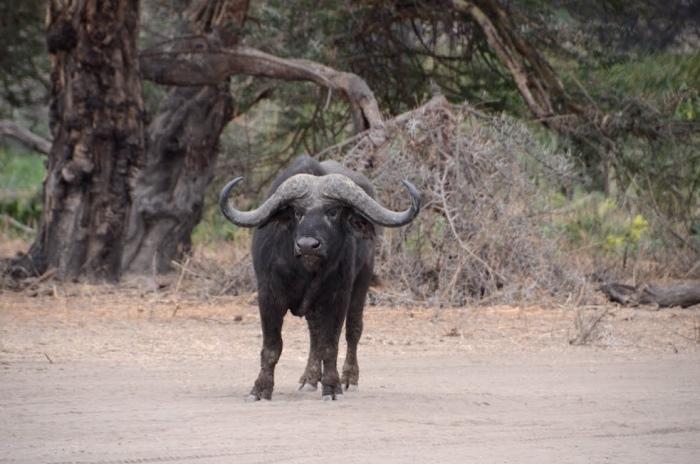 非洲水牛——火爆素食者
