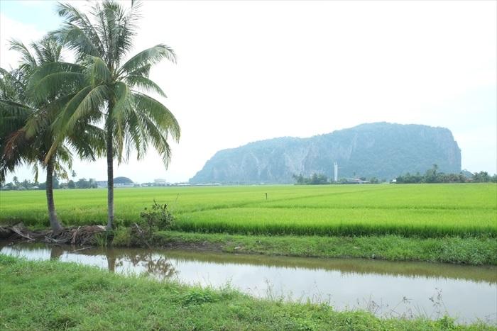 稻田旁的椰树