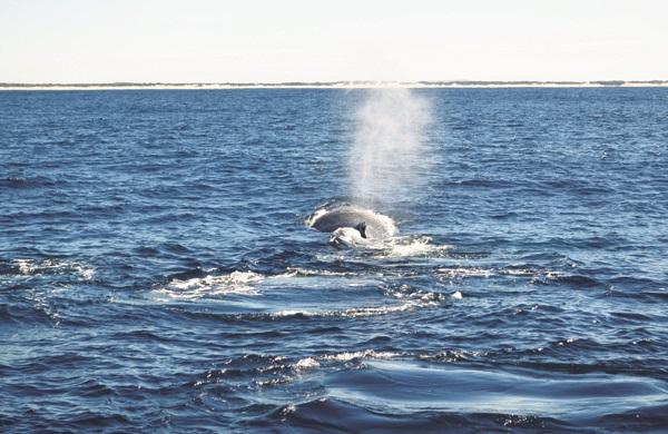 鲸鱼摆动着尾鳍溅 起水花后,随即又潜入海底。